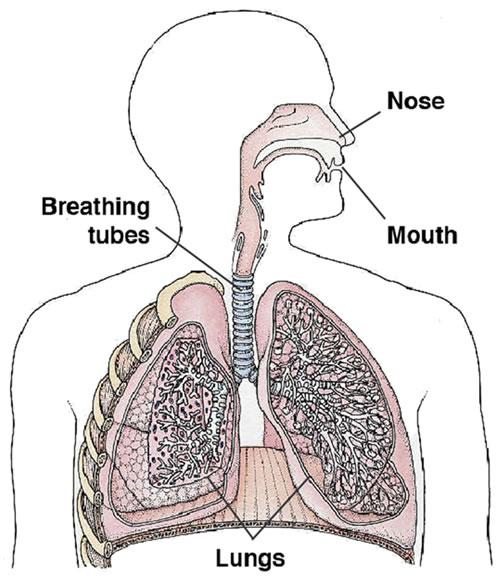 Poultry dust quick guide to poultry dust diagram of the breathing system ccuart Images