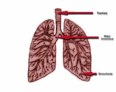 your lungs an asthma attack hse diagram of your body organ placement diagram of your body organ placement diagram of your body organ placement diagram of your body organ placement